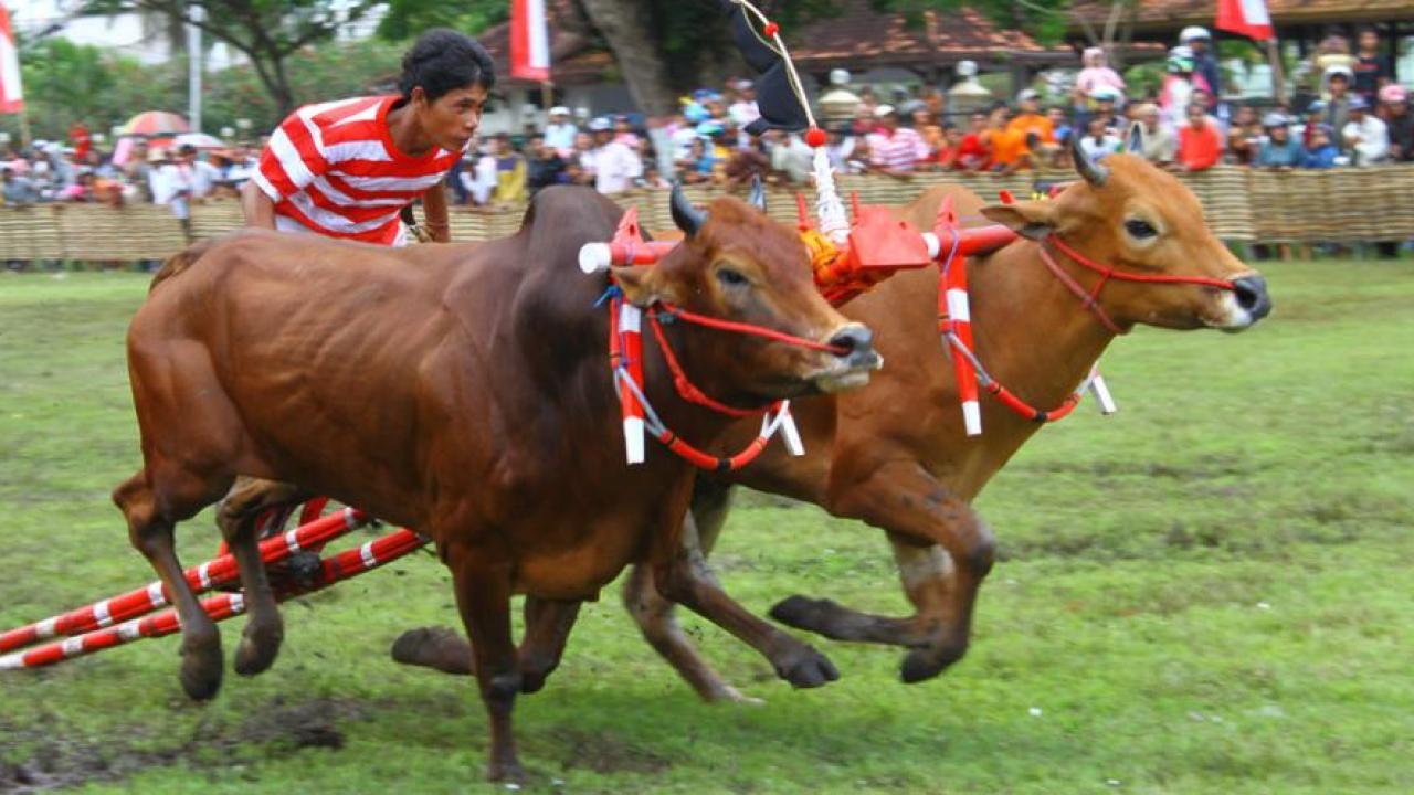 Budaya karapan sapi madura